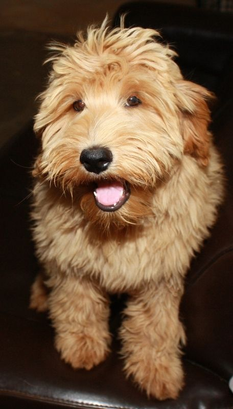One Of Miss Bug S Australian Labradoodle Puppies Looking All Cute