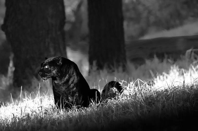 Photo of Original Animal Photography by Jochen Van Dijk   Fine Art Art on Paper   Wakanda (XL) – Limited Edition 1 of 25