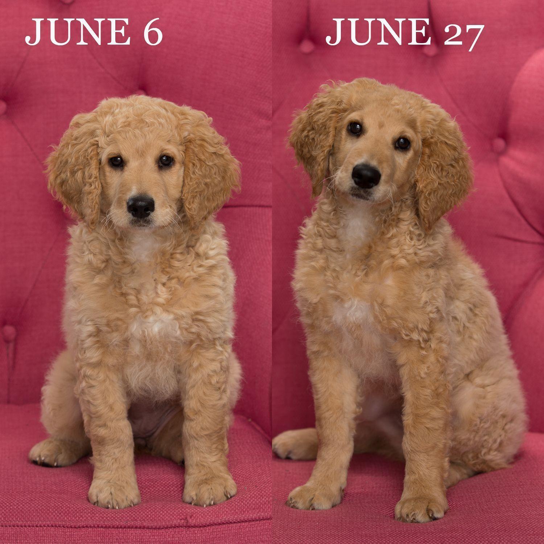 my baby is growing up! minigoldendoodlepuppy Mini