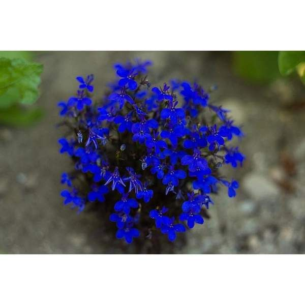 Lobelia - Crystal Palace #blueflowerwallpaper