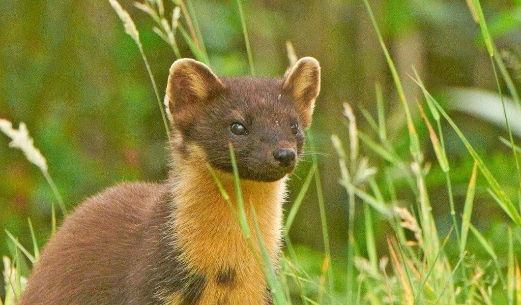 Pine Marten Weasel Facts, Diet & Habitat Information