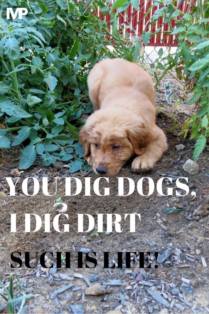 #Golden #Retriever #cute #dog #model #ILoveDogs #DogSmile #HappyDog #FunnyDog #MuddyDog