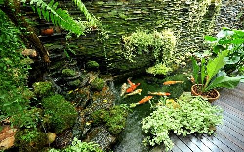 Caring for Koi Ponds Build your koi pond right and maintain it