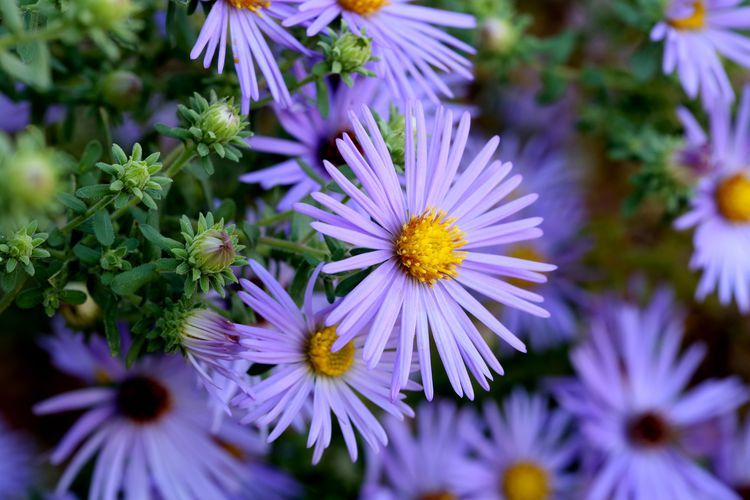 Flowers With Seeds That Birds Love Fall Plants Plants Aster Flower