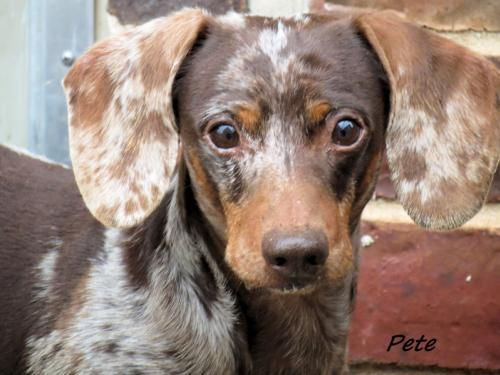 Meet Pete A Petfinder Adoptable Dachshund Dog In Oklahoma City