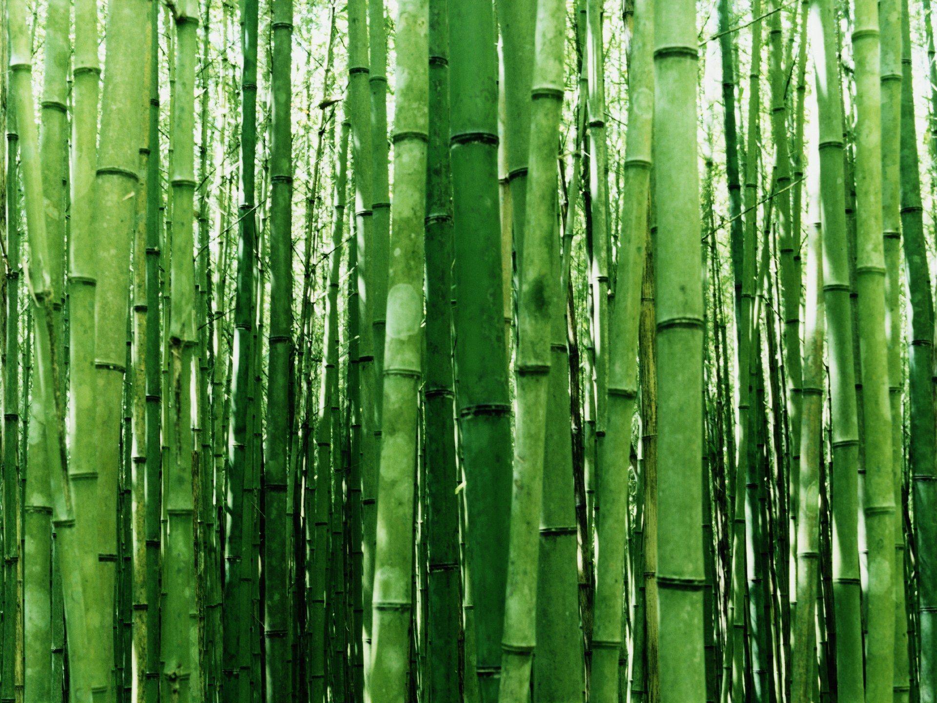 Beautiful Bamboo Bamboo Wallpaper Bamboo Plants Bamboo