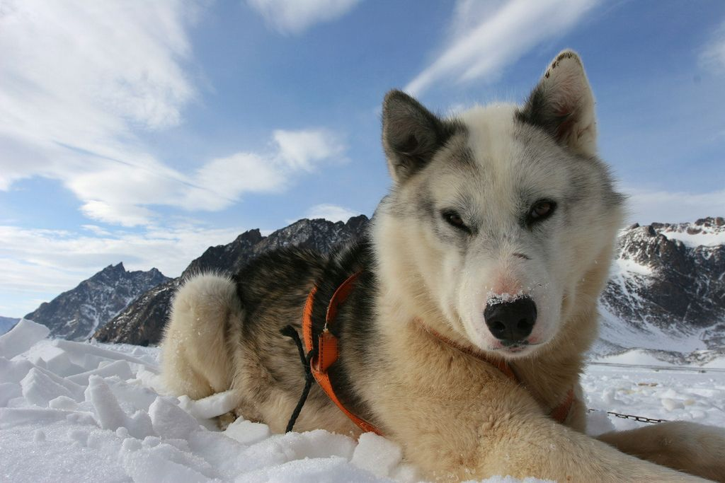Sled dog resting on the sea ice Greenland dog, Dogs, Sled