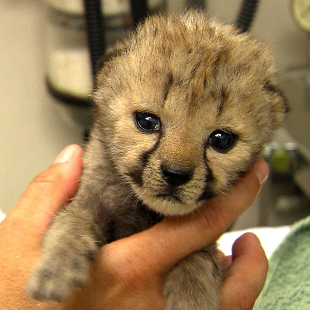 Cincinnati Zoo welcomes a new baby Cheetah!...Love.