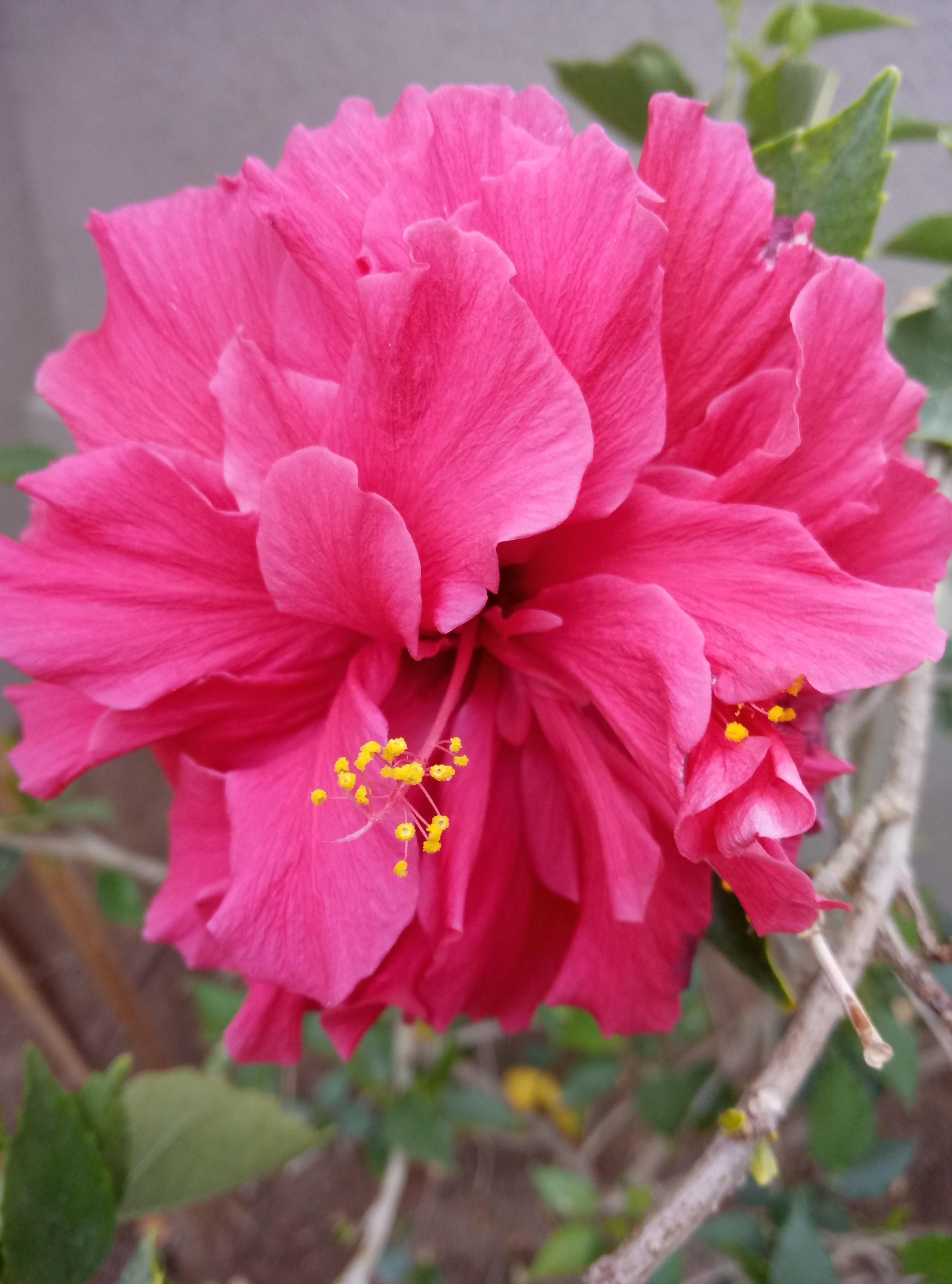 My hibiscus gardening garden gardens DIY
