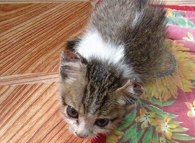 Month Old Cat Had Its Eyes And Nose Sewed Shut Kitten Rescue Old Cats Kitten