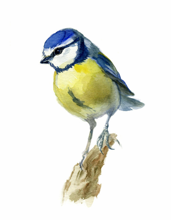 Blue Bird print, watercolor bird, Blue Tit Bird, Cyanistes caeruleus ...