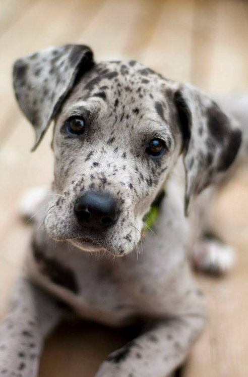 What is not to love? Catahoula... But, Roufus was a sweetie!