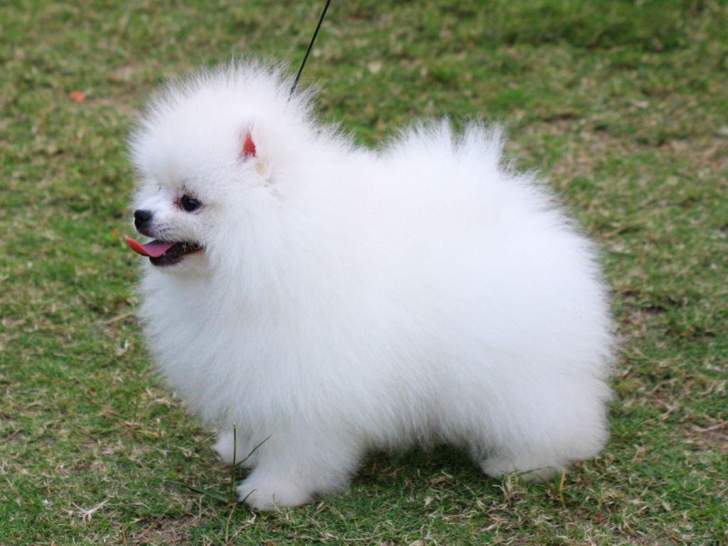 Pomeranian Dog Wallpaper | Fun Animals Wiki, Videos ... Pomeranian Wiki