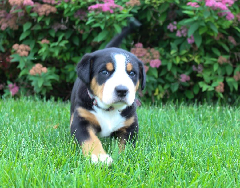 Ashley Akc Greater Swiss Mountain Dog For Sale Fort Wayne