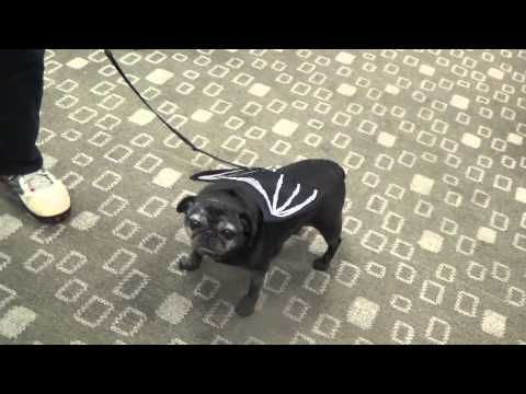Halloween dog costme - fillmore ctr dog 10 31 2014