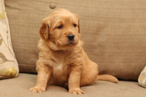 Litter Of 4 Golden Retriever Puppies For Sale In Unicoi Tn Adn