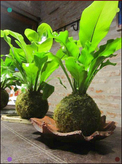 Big Leaf House Plants Care Review เฟิร์นข้าหลวง 3 (With