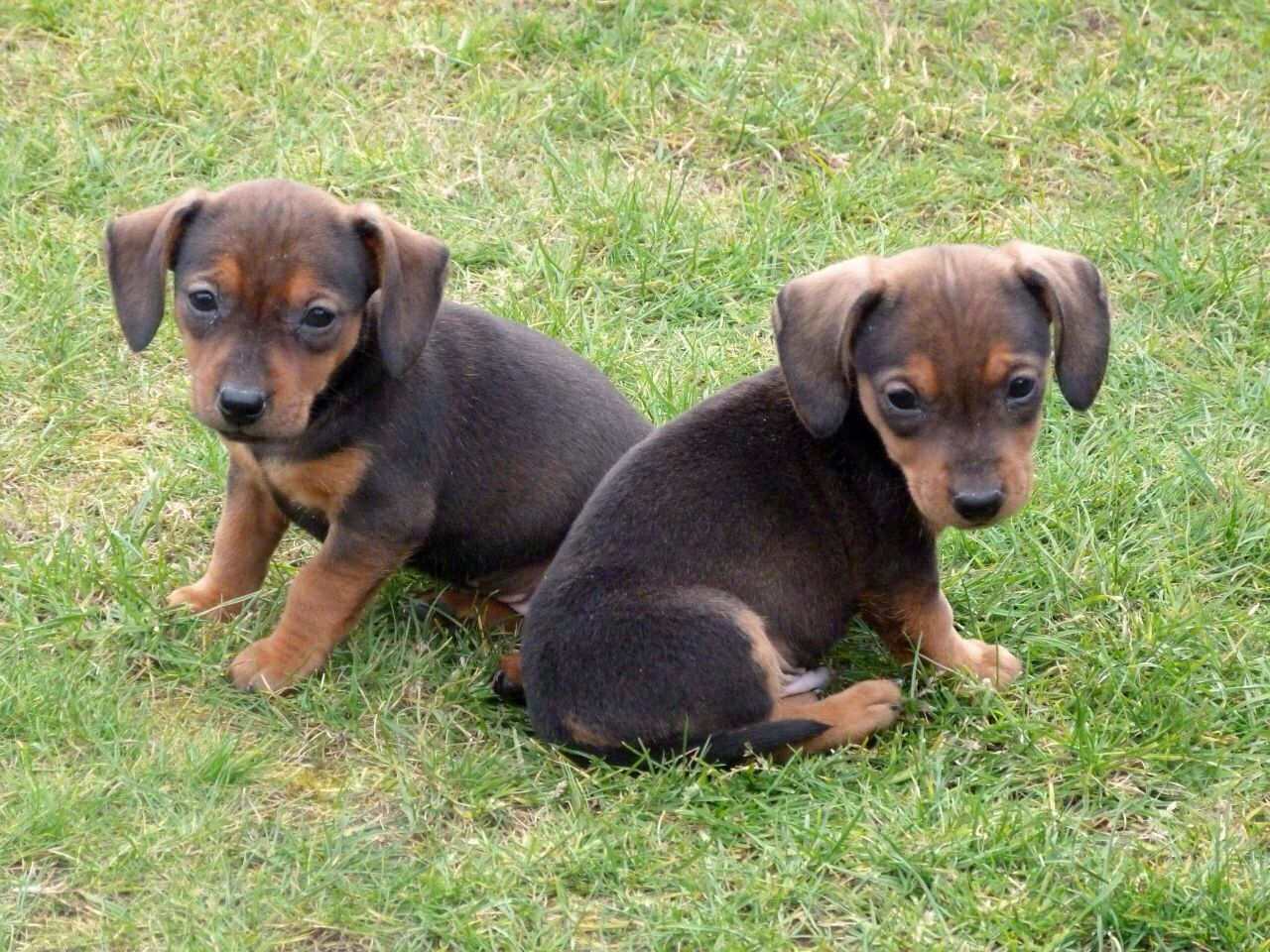Daschund X Jack Russell Jack Russell Puppies Pets