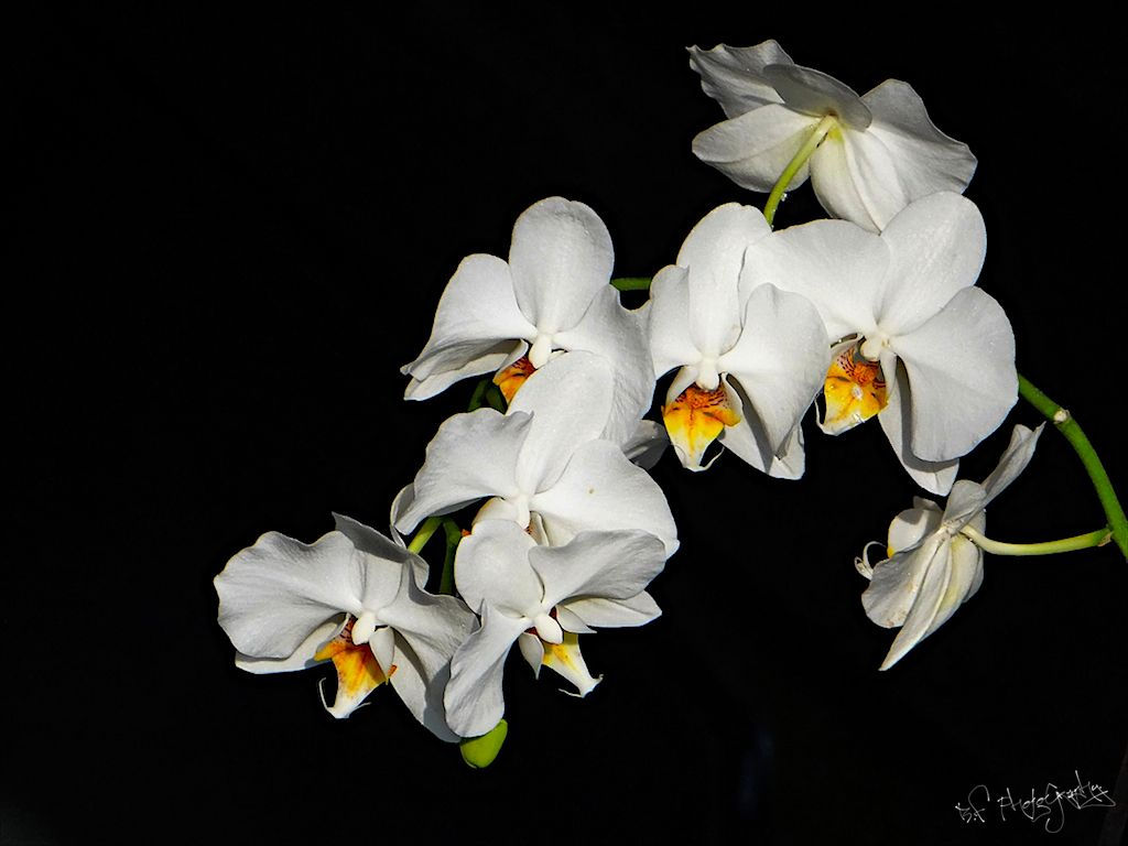 Witte orchidee orchids pinterest orchid