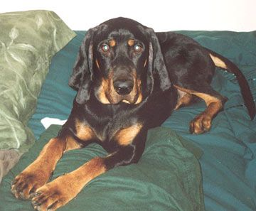 American Black And Tan Coonhound Doggies Dogs Dog Breeds