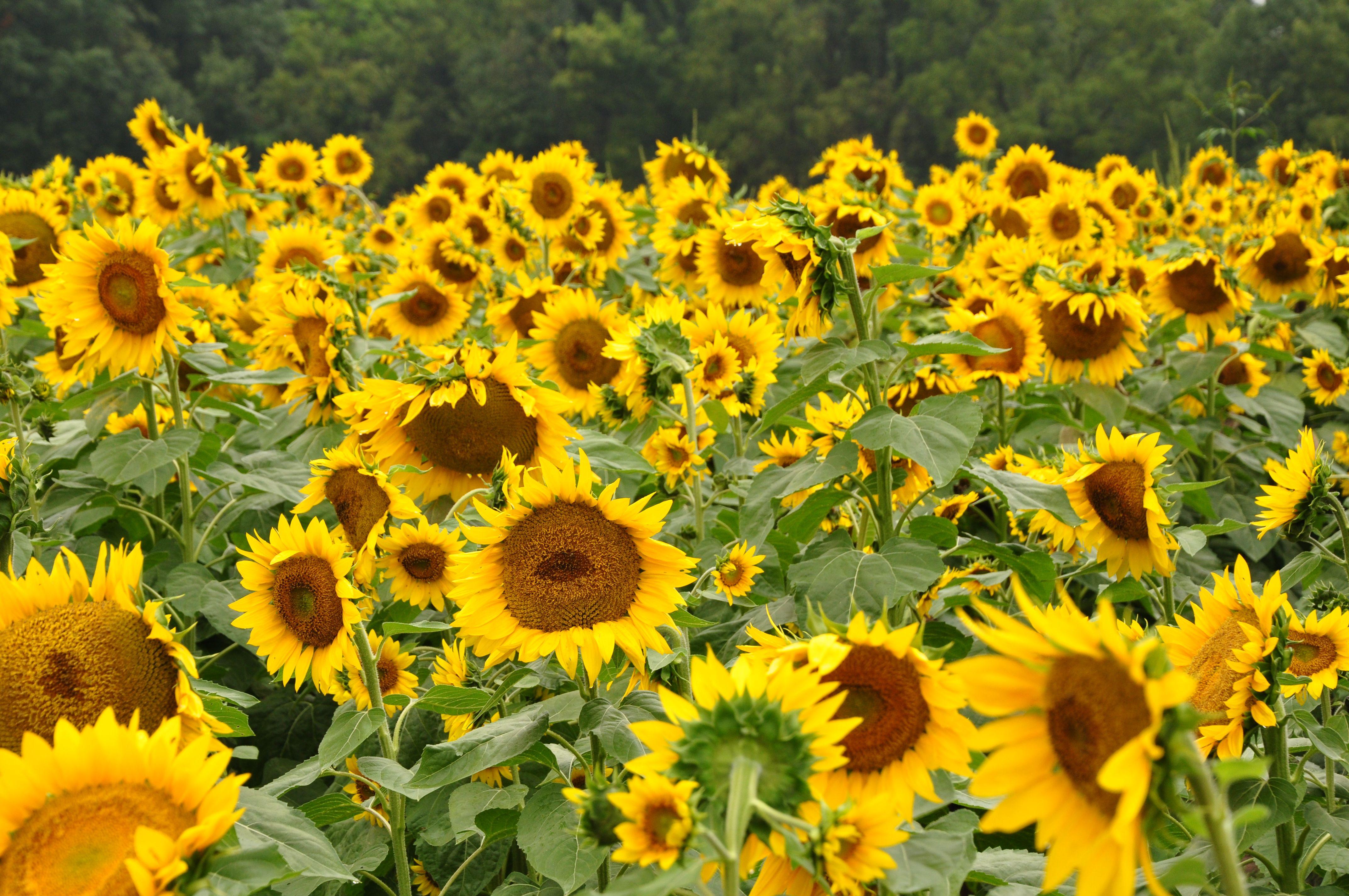 Huge field of sunflowers, so cheery.