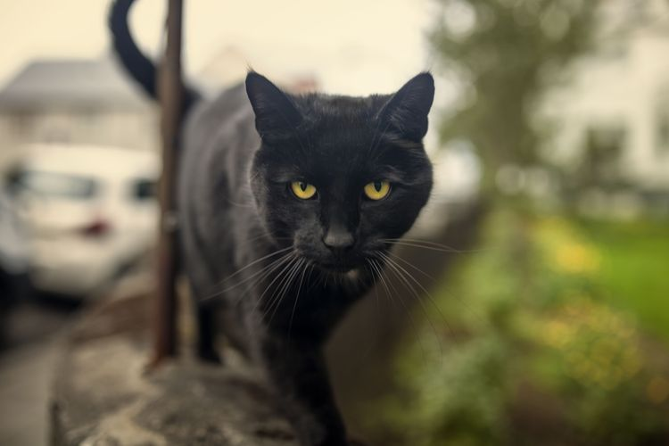 Help My Cat Is Mean How Do I Make Him Happy Bombay Cat Cat And