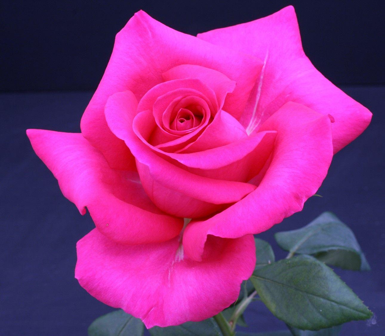 Rose All My Loving Dark Pink Hybrid Tea Rose Weeks