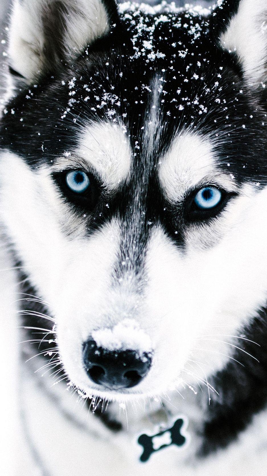 Husky, dog, muzzle, blue-eyed background