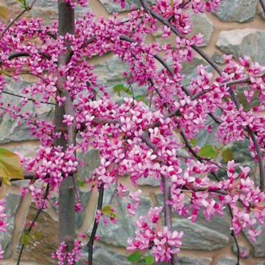 Cercis canadensis pink heartbreaker from wayside