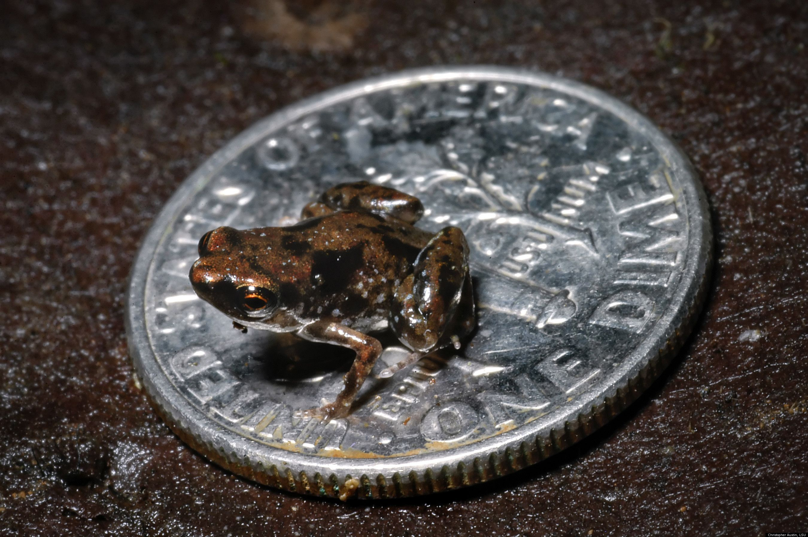 World's smallest vertebrate was discovered in New Guinea... as you can see, the frog is small enough that it fits on a US dime!