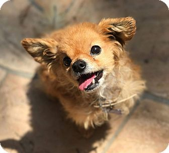 Fountain Valley Ca Senior Pomeranian Chihuahua Mix Meet