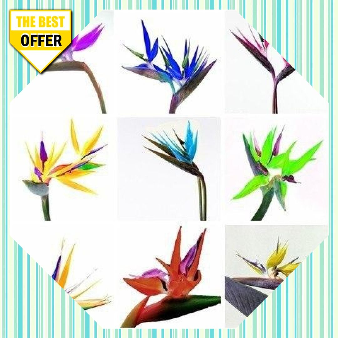 50 Bag Rare Strelitzia Reginae Hybrid Bird Paradise Bonsai Plants Sementes For Flower Pot Planters Red Dessert Bonsai Plants Paradise Flowers Bonsai Seeds