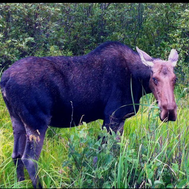 Moose from Algonquin park :)