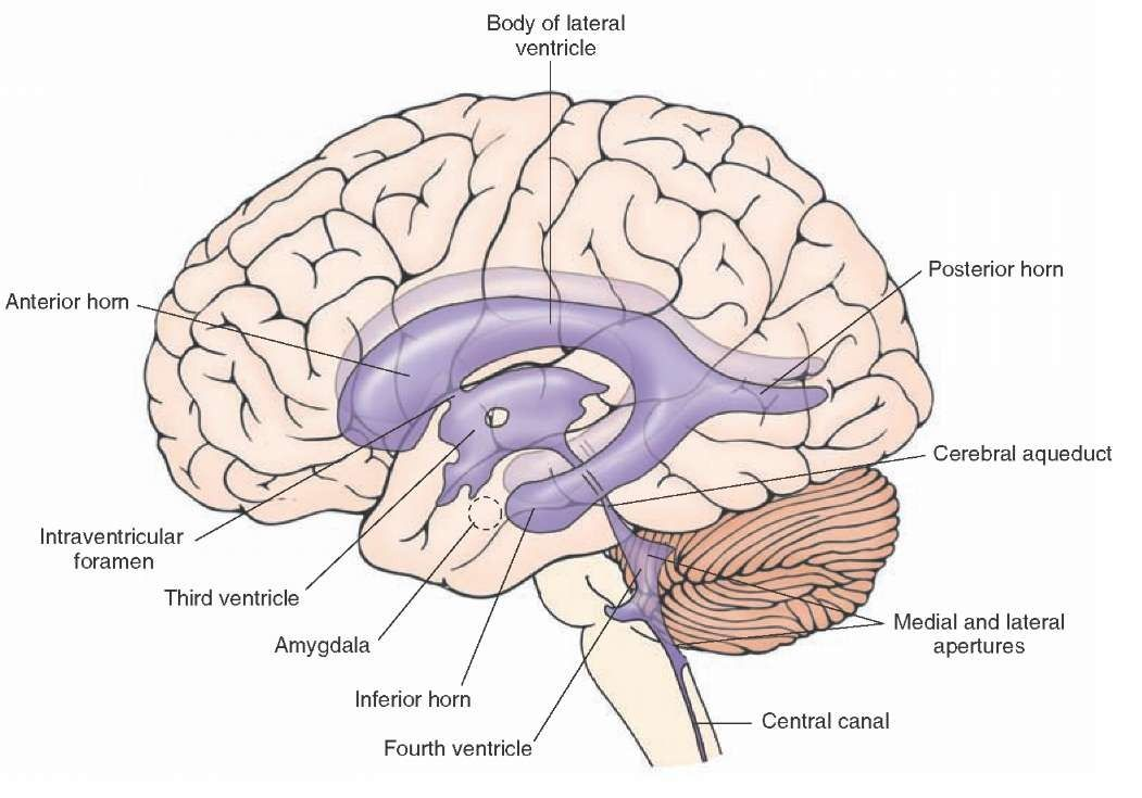 Lateral view of the positions and relationships of the ventricles of ...