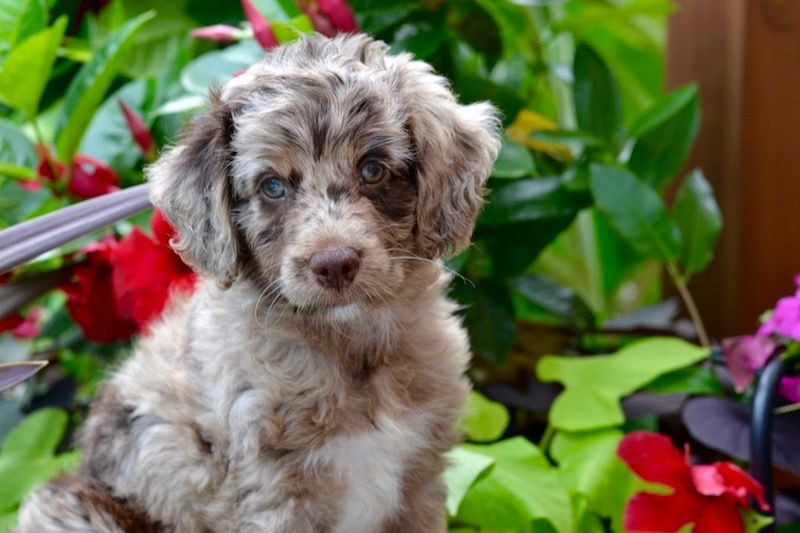 AussieDoodle puppies are all we do! We breed the smartest