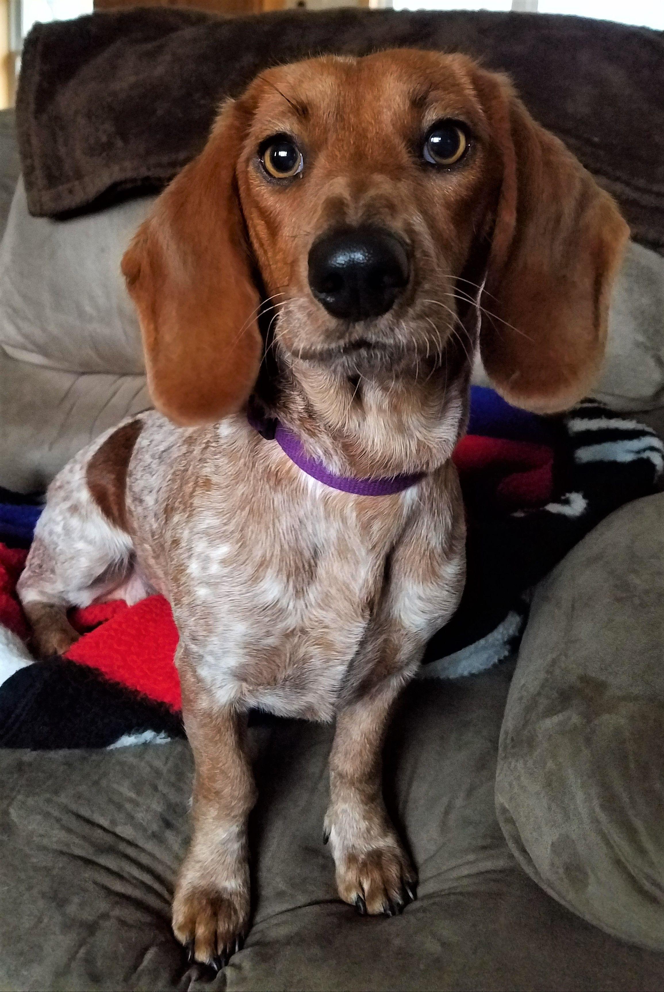 Doxle Dog For Adoption In Lewisburg Tn Adn 720590 On Puppyfinder
