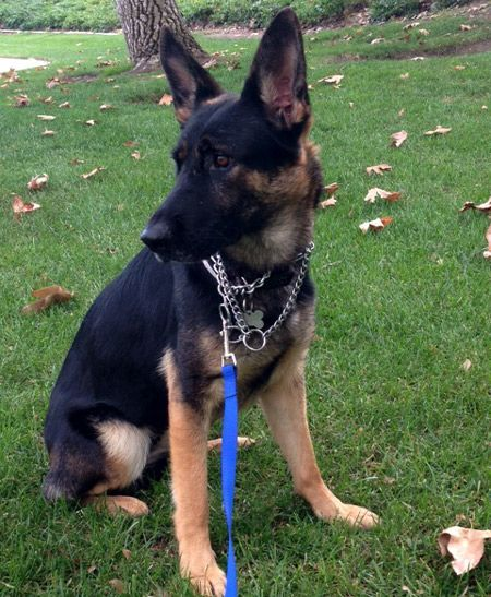 Leyna Is A 7 9 Months Old Female German Shepherd Female German