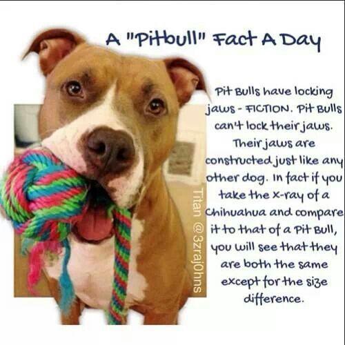 Pitbull Fact Or Fiction The Locking Jaws Myth Pitbull Facts