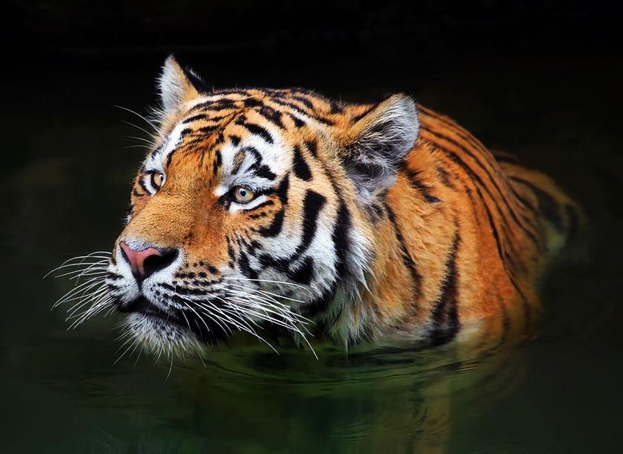 hello tiger!!