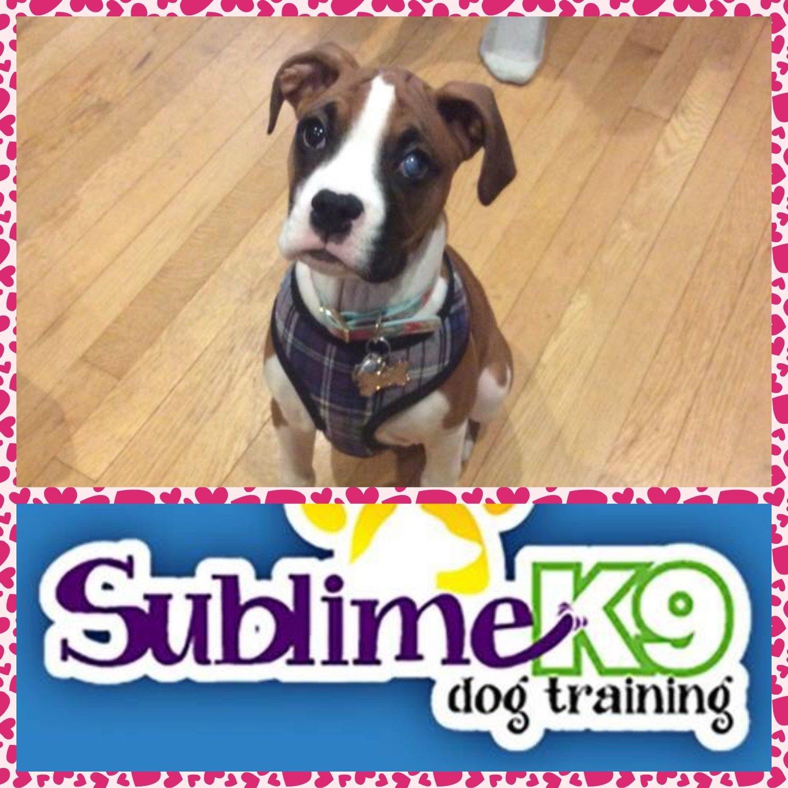 Long Island Dog Trainers Sublime K9 Dog Training Dogs