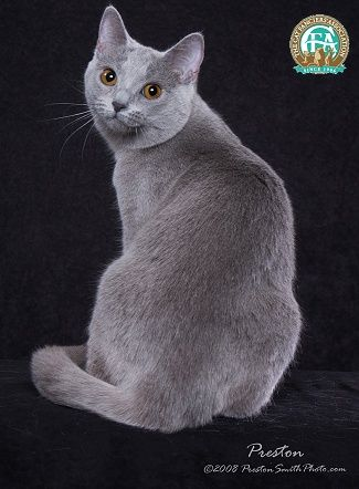 Like A Graceful Vase A Cat Even When Motionless Seems To Flow George F Will Chats Gris Chat Chartreux Chat Calin