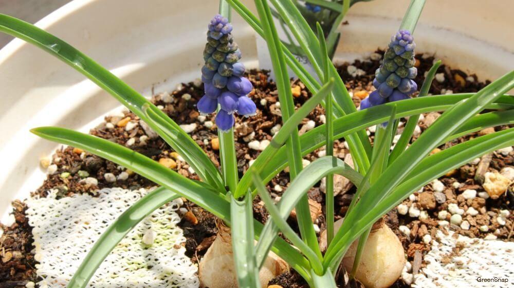ムスカリの育て方 水栽培や球根の植え方 種まき 花後の処理は Horti ホルティ By Greensnap ムスカリ 花 花のある暮らし ムスカリ 種まき 水栽培