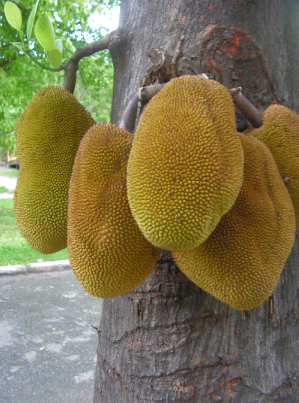 Jackfruit Tree 1 Jackfruit Tree Jackfruit Fruits Photos