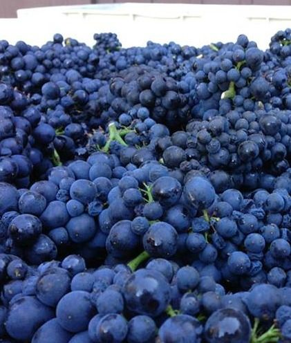 Harvest at Big Basin Vineyards in Saratoga, CA #winecountry #harvest2013
