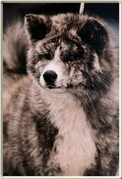 Akita. I think they are so cute and majestic!