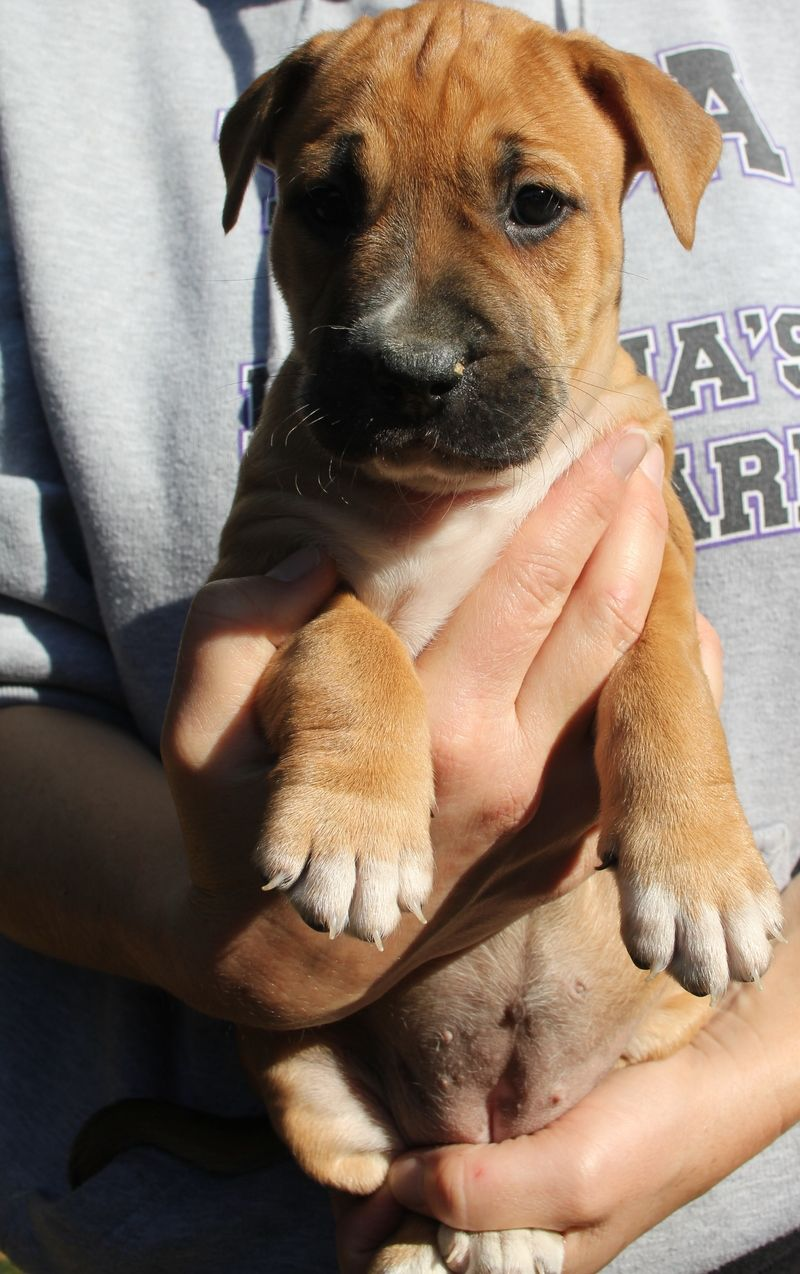 Adopt Wren on Pointer puppies, Boxer dogs, Pup