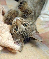 Adopt Aladdin On Grey Tabby Cats Cute Cats Kittens Grey Tabby
