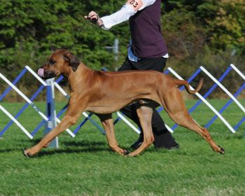 My Baby All Grown Up With Images Rhodesian Ridgeback Dog