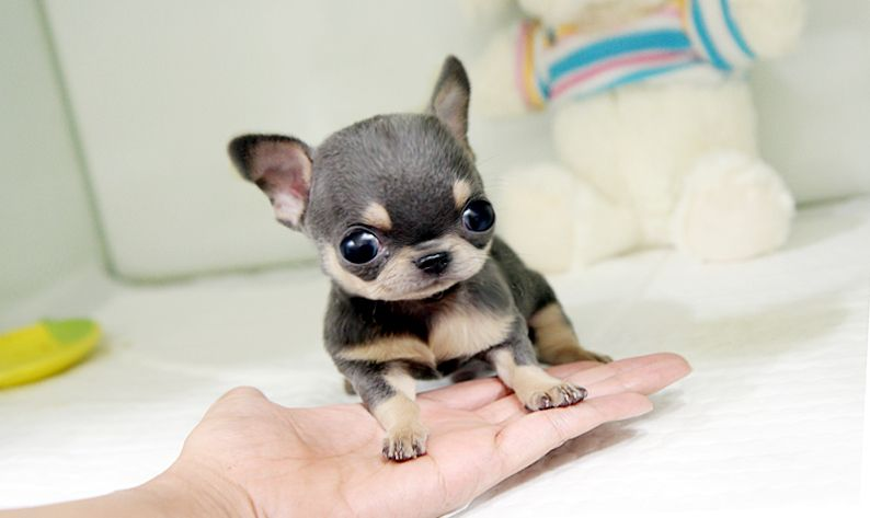 Available Chihuahua Puppies Fancy Applehead Chihuahuas Puppies On