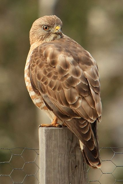 Broadwing Hawk (Buteo platypterus) found in North America but they migrate in winter to Mexico and south to Brazil.